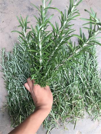 迷迭香新鲜枝条的养殖