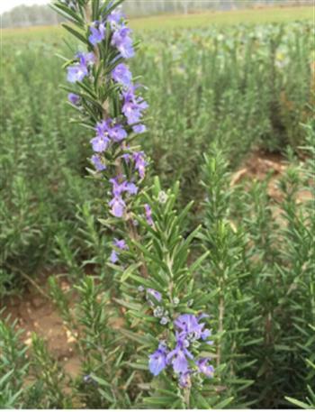 迷迭香苗木的灌溉并非盲目