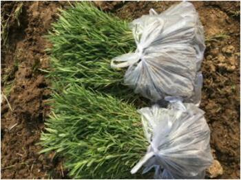 在小叶迷迭香可提取很多植物精华