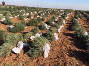 施肥、除草,就是为了让迷迭香种苗尽快成长